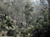 Eucalypt woodlands in Victoria.
