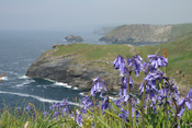 English: Bluebells on Tintagel Castle Deutsch: Bluebells auf der Burgeninsel Tintagel