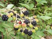 Blackberries are a source of polyphenol antioxidants