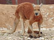 Red Kangaroo.