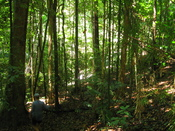 English: Daintree Rainforest with bushwalker, Queensland, Australia
