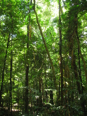 English: Daintree Rainforest, Queensland, Australia