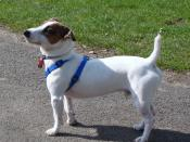 English: A Jack Russell Terrier wearing a blue harness.