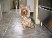 My cousin's Yorkshire Terrier.