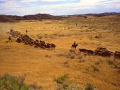 Cattle roundup at the Fort Keogh Livestock and Range Research Station in southeastern Montana. At this station, one of the largest livestock research facilities in the world, researchers help to ensure a plentiful supply of meat while protecting the range