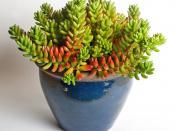 Jelly Bean Plant (Sedum rubrotinctum)