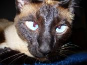A Siamese Cat displaying the typical blue, cross-eyed eyes typical of the breed.