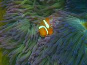 English: Amphiprion percula / Clownfish; Location: Welcome Bay, Fitzroy Island, Queensland, Australia