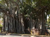 English: A Banyan tree claimed to be the oldest in , located in Cleveland beside the Grand View Hotel.