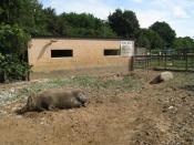 English: Tamworth Two (Butch and Sundance), Rare Breeds Centre, Woodchurch, Kent, England