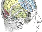 Illustration showing the position of the parietal lobe of the brain, the site of damage related to visual extinction.