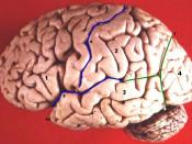 The top blue line denotes the central sulcus