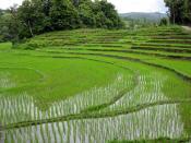 Rice fields near Chiang Mai, Thailand. Campos de arroz cerca de Chiang Mai, Tailandia.