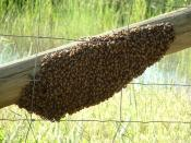 English: A swarm of s or European honey bees (Apis mellifera).