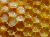 Honeycomb of Western honey bees (Apis mellifera) with eggs and larvae.