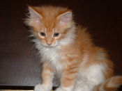 It's Me X-Mas Cookie, called Cookie, Maine Coon, male, red tabby / white, at the age of 75 days