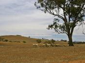 English: Sheep on a drought-affected paddock near Uranquinty