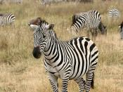 English: A Plains Zebra, Equus quagga in the Ngorongoro Crater in Tanzania