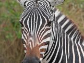English: Portrait of a Plains zebra Equus quagga Français : Portrait d'un zèbre des plaines (Equus quagga)