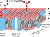 English: Diagrammatic representation of Cell membrane