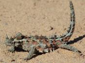 Thorny devil, Western Australia