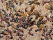 Winged ants swarming from the nest in preparation for the nuptial flight