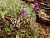English: Pinguicula orchidioides in habitat in Oaxaca, Mexico.