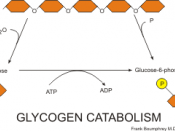 English: glycogen catabolism pathways