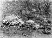 Forensic anthropologists can help identify skeletonized human remains, such as these found lying in scrub in Western Australia, circa 1900–1910.