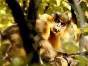 A capped langur at the Manas national Park, Assam, India