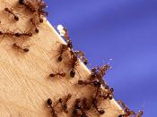 Fire Ants are an example of a social insect species whom depend on trail pheromones to obtain food for their colony