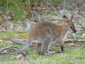 Bennett's Wallaby (Macropus rufogriseus rufogriseus) juvenile, Maria Island, Tasmania, Australia