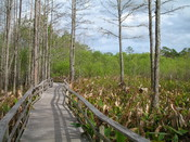 Everglades, Florida, U.S.A.: Corkscrew Swamp Sanctuary, operated by the National Audubon Society
