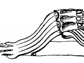 Fibres of Corti Mivart