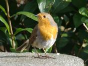 English: One of the resident robins in my garden.