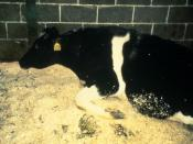 Image of a cow with BSE. A feature of such disease is the inability of the infected animal to stand.