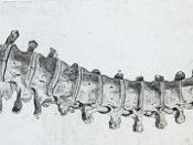 Front view of vertebral column from Andrew Bell's Anatomia Britannica (1798?)