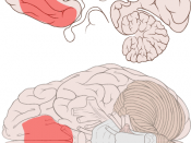 English: Location of the ventromedial prefrontal cortex shown on ventral and medial views of the brain.