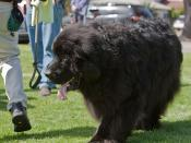 Everybody knows Dr. Bob Tefft's giant Newfoundland dog named Duffy.  Dog show in Morro Bay, 10 May 2009.  Best of Bay Pooch Pageant