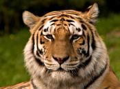 Siberian Tiger Français : Tigre de sibérie Italiano: Tigre Siberiana Español: Tigre siberiano 한국어: 시베리아 호랑이 中文(简体): 东北虎 中文(繁體): 東北虎