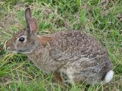 English: Rabbit