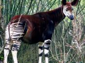 An Okapi. Taken at Disney's Animal Kingdom by Raul654 on January 16, 2005.