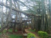 English: A Big Banyan Tree at Bangalore മലയാളം: ബാംഗ്ലൂരിലുള്ള വലിയ ആൽമരം(ദൊണ്ഡ ആൽമര)