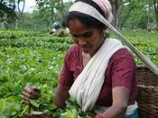 Nederlands: Een vrouw aan het werk op een thee plantage