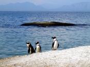 Three African penguins (Spheniscus demersus). These penguins were observed on Boulder Beach near Cape Town, South Africa. Français : Trois Manchot du Cap (Spheniscus demersus). Photo prise à Boulders Beach, près du Cap, en Afrique du sud.