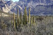 English: Pitaya at San Carlos, Sonora, Mexico. Français : Des cactus cierges à San Carlos, dans le Sonora, au Mexique.
