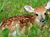 English: A Baby Fawn Whitetail Deer laying in the grass on a spring morning. This picture was taken remarkably close as the deer simply watched as I took it's picture.