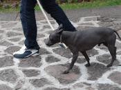 English: Xoloitzcuintle dog being walked at the Dolores Olmedo Museum in Mexico City