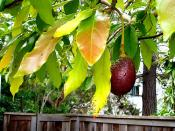 the avocado tree  next door