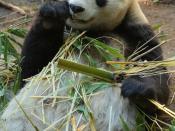 English: Bai Yun, a female Giant Panda at San Diego Zoo, California